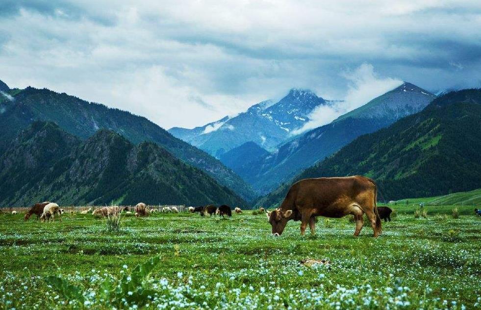 牛羊粪怎样生产有机肥?